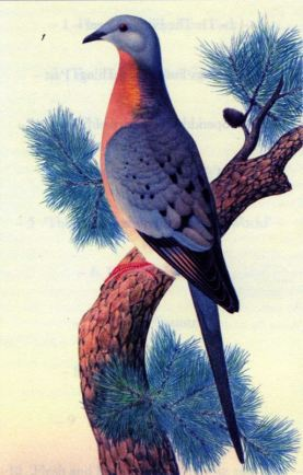 The posture Thoreau noted, captured by K. Hayashi in Whitman's Orthogenetic Evolution in Pigeons (1919)