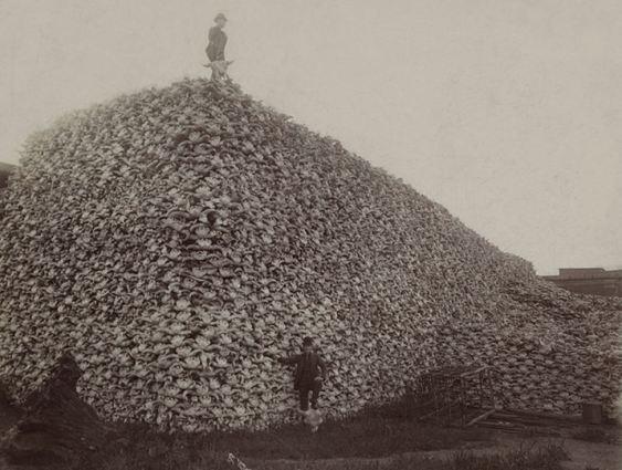 Bison skulls awaiting shipment 1880s.